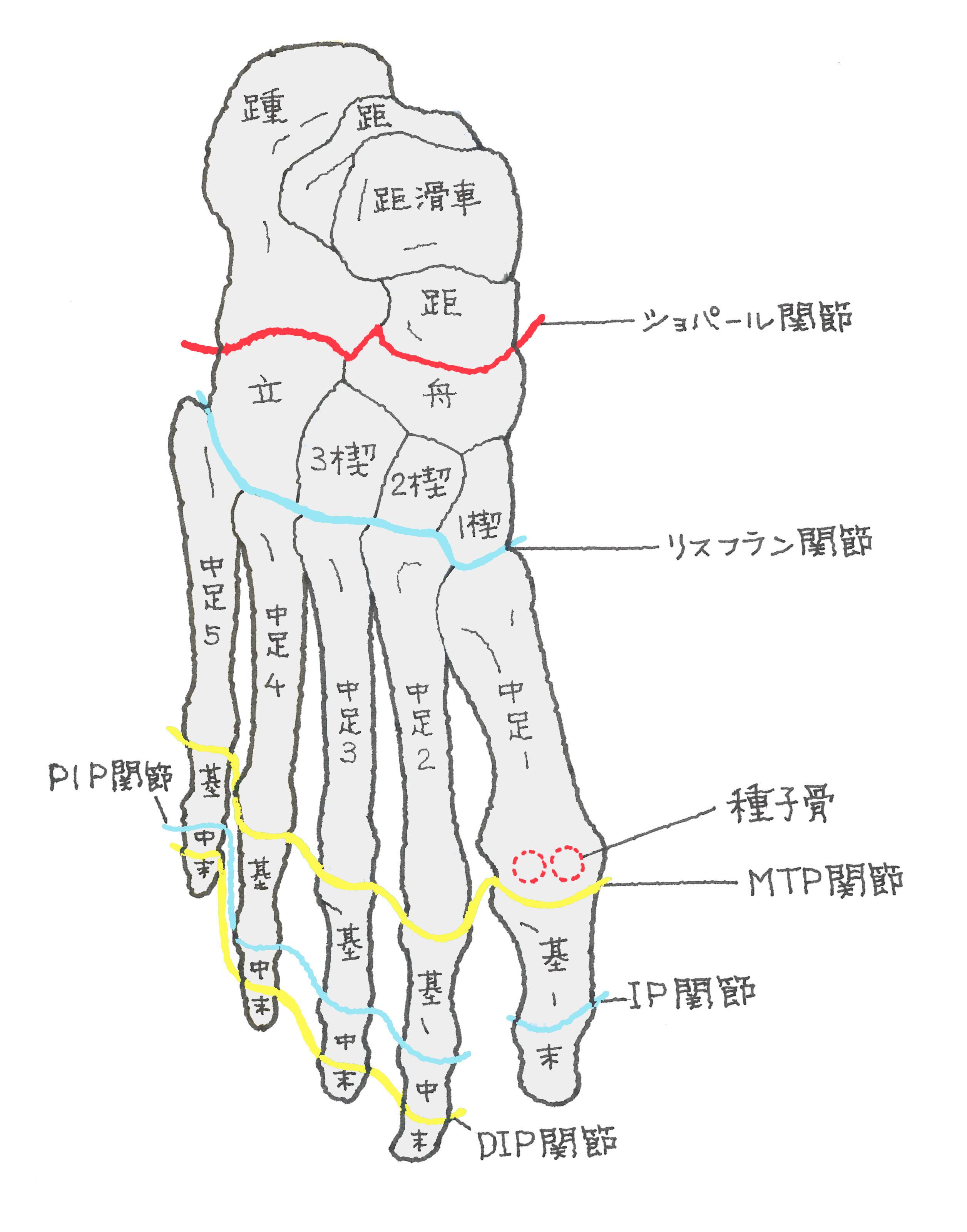 「足部 骨」の画像検索結果