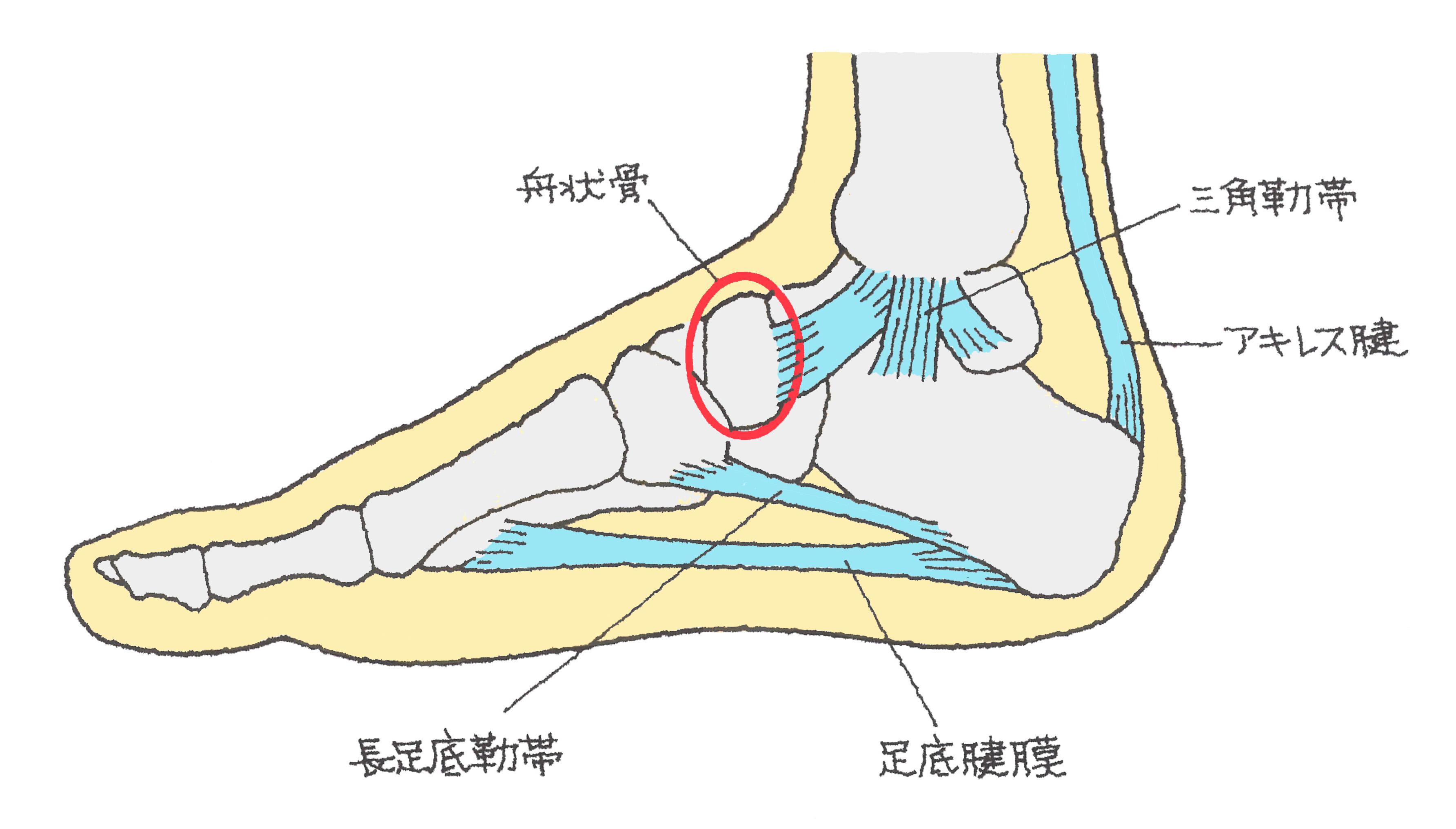 「足の舟状骨」の画像検索結果